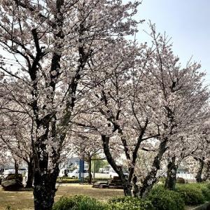 動物病院|待ち時間の間に桜見物