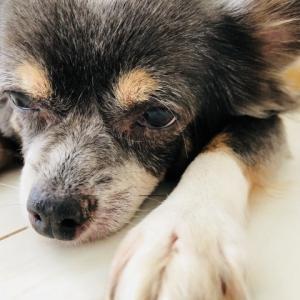 知ってた?犬の年齢の見分け方と犬の年齢を人間に換算できる簡単な方法