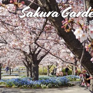 【Sakura 2019】Fantastic cherry blossom / Sakura Garden @CHIBA