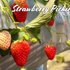 Strawberry picking with white strawberries / Gaiya Farm @CHIBA