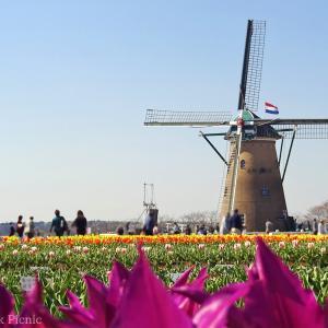 """Netherlands in Japan!? """"Sakura Tulip Festa"""" / Sakura furusato field @CHIBA"""