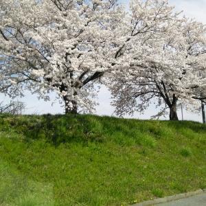 桜・・・満開ですやん♪