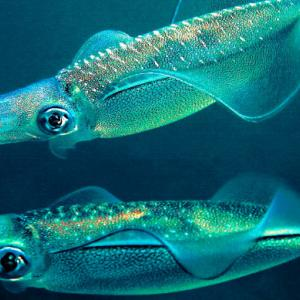 エギングで釣れるアオリイカの特徴