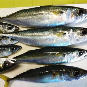 青森港でジグサビキ サバの引きが面白くなってきた