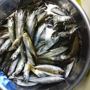 台風前日の海釣りで142匹爆釣でした周りも釣れまくり