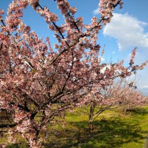 南濃で満開の河津桜を鑑賞して