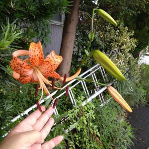 我家のオニユリが咲きました