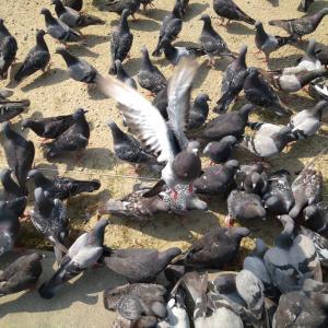 ボランティア中 人懐っこい鳩に癒される