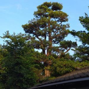我が家のシンボル槇の木の剪定