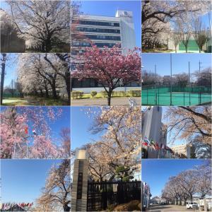 112.  桜おかわり