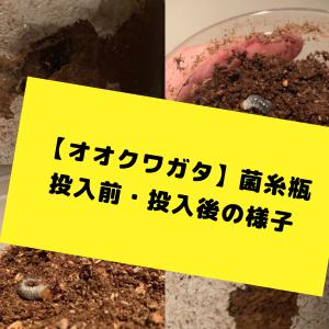 【オオクワガタ】菌糸瓶の投入前・投入後の様子