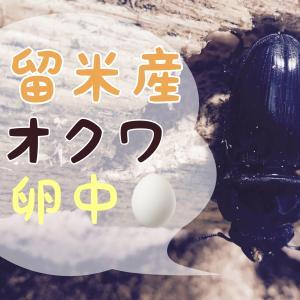 久留米産オオクワガタ産卵中の様子