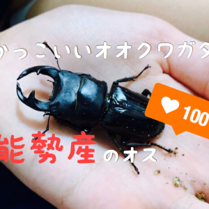 【かっこいい】オオクワガタ(能勢産)のオス