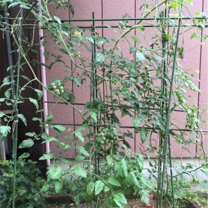 大葉とミニトマトの成長記録②