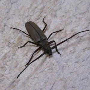 【昆虫フォト】細長いカミキリムシ
