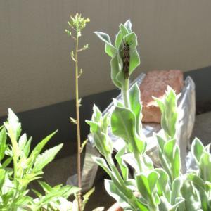 【昆虫フォト】 ベランダに来た、細長い蛾っぽい虫 ヒゲナガカワトビケラ