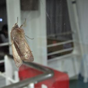 【昆虫フォト】 明かりに集まる虫 (蛾)