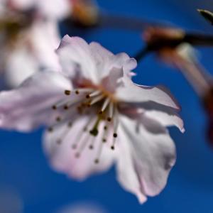 我が家の醍醐桜が、昨日2020年、開花しました
