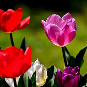 庭にチューリップが咲いていた