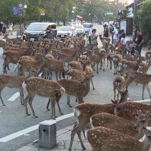 奈良の鹿公園ってよく聞くけど実際はどんな所か皆は知ってるの?