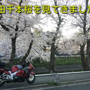 【大阪発日帰りソロツー】高田千本桜を見てきました!