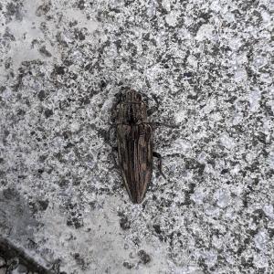 やんごとなき地味色甲虫、「ウバタマムシ」