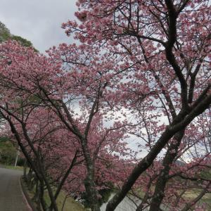 福成寺 寒桜 散り始め メジロ沢山いました