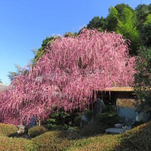 淡路島 八木のしだれ梅は、9部咲き