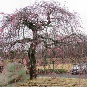 香川県園芸総合センターの梅は、見頃