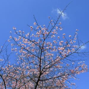 香川 白山 河津桜が見頃です。