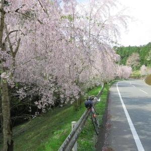 神山 桜は散り始め、江田の菜の花は、咲き始め
