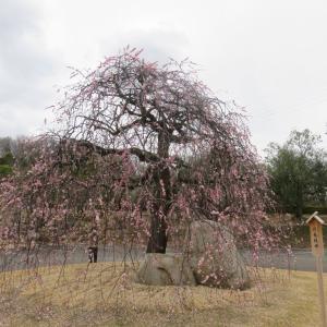香川県園芸センター 梅、桜