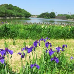 亀鶴公園 しょうぶが見頃