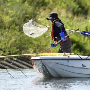 岐阜新聞Web『コクチバス根絶へ本腰 揖斐川に侵入、岐阜県と漁協が捕獲調査』