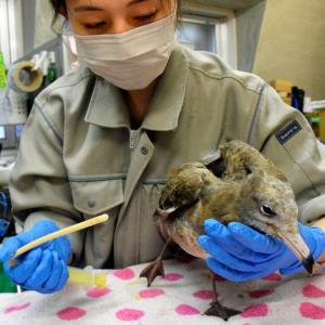 朝日新聞デジタル『増える野鳥の釣り針被害 コロナ禍での釣り人気が要因? 』