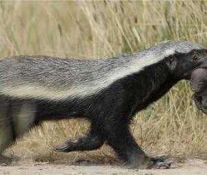 東洋経済オンライン『世界で最も恐ろしい陸生動物「ラーテル」の正体』