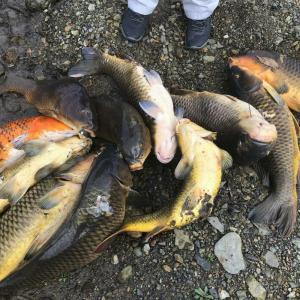 南海日日新聞『川に外来のコイやティラピア 奄美大島自然保護協、生態系保全へ駆除』