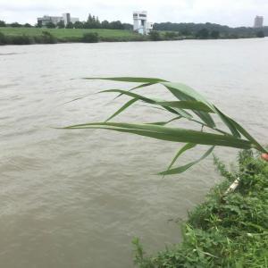 """文春オンライン『エサはなんと「草」 大都会の河川で1メートル超えの""""怪魚""""を釣り上げた!』"""