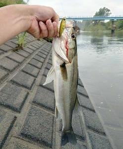 下野新聞SOON『河口から100キロ超なのに・・・ 釣れたのは海の魚シーバス! 小山・思川』
