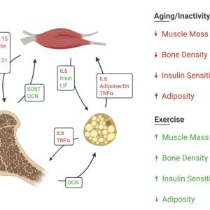 筋肉と骨と脂肪のクロストーク:ミオカインとオステオカインとアディポカインの生物学的役割について