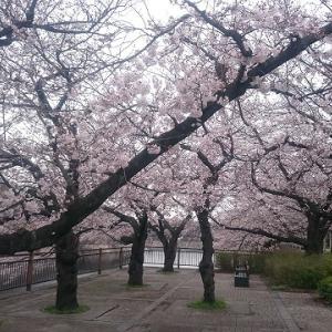 【番外編】日々の練習@大阪城公園(2020/3/31) 満開の桜で、少しだけでも優しい気持ちに