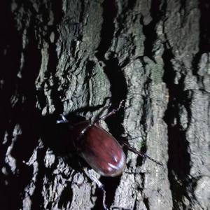 夏休み8日目(夜の昆虫採集)