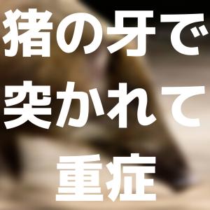 【猪】罠にかかったイノシシを捕獲しようと近づいた男性、罠がはずれ、イノシシに牙で何度も突かれ重傷。神戸市北区