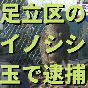【イノシシ】足立区のイノシシ?埼玉で捕獲 その瞬間…(動画)