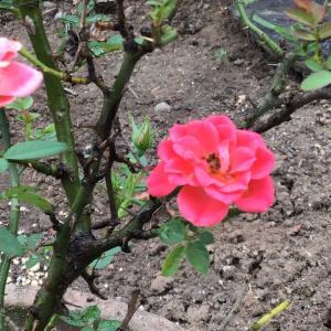 お庭のお花🌸