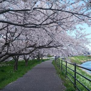 伏見川河川敷の桜風景