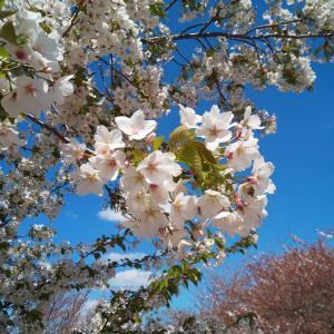 青空に映える新緑の葉桜 金沢市「大乗寺丘陵公園」