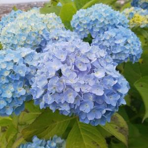 初夏の青空に映える紫陽花と新緑 金沢市「大乗寺丘陵公園」