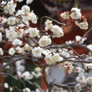 梅花盛开了!          【梅の花が満開です】