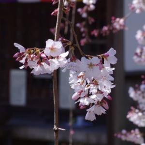 长建寺的线樱花 【長建寺の糸桜】